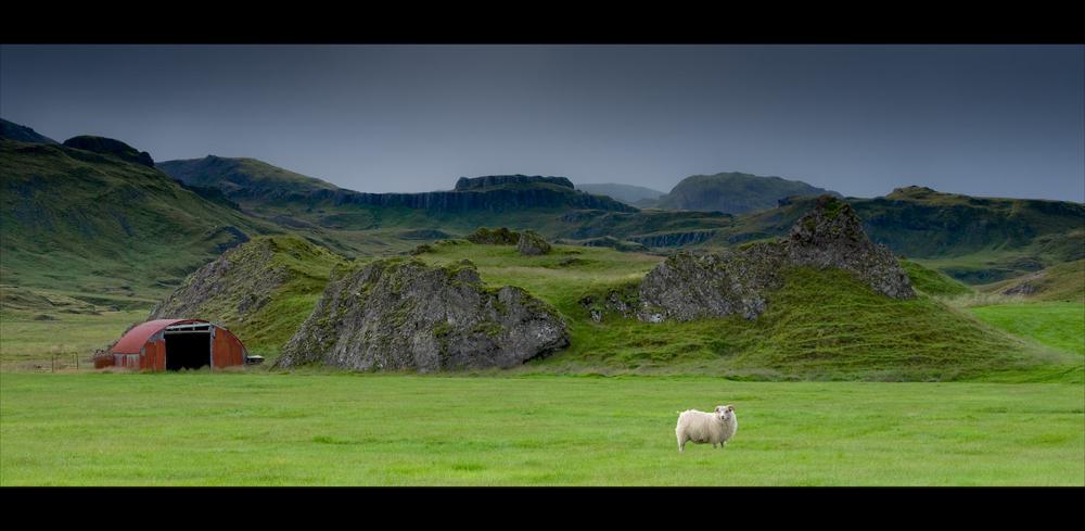 Das einsame Schaf - Island