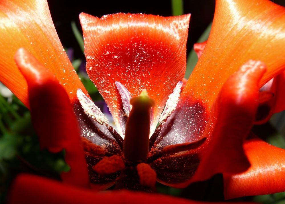 Das Ende einer Tulpe (1)