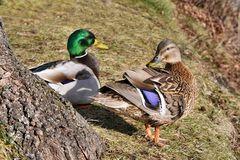 das Enten Paar