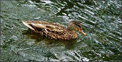 Das Entenmädchen war sehr schnell unterwegs...