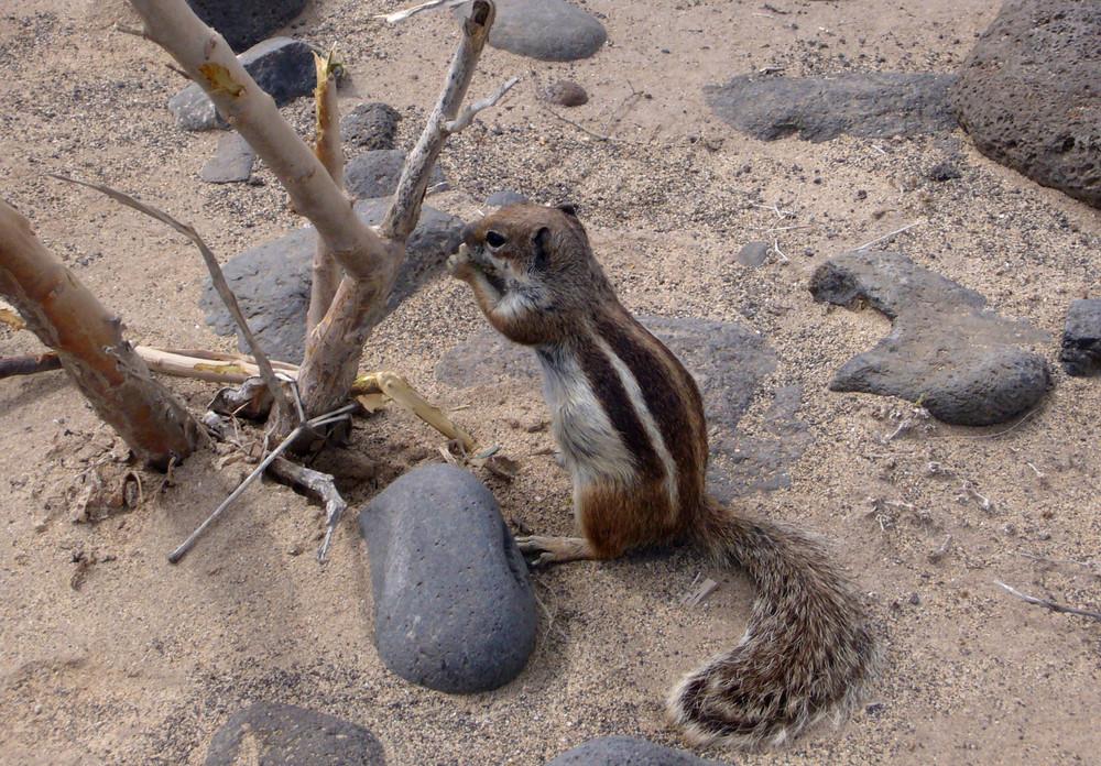 das Erdhörnchen von der Playa Esquinzo