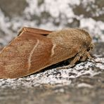 Das Ergebnis der Metamorphose: der fertige Brombeerspinner! - Macrothylacia rubi, le papillon!