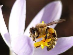 Das erste Bienenmakro dieses Jahres