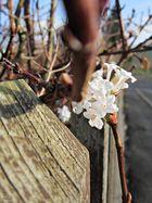 das erste erblühen nach dem winter