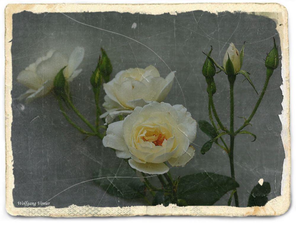 Das etwas andere Rosenbild...........