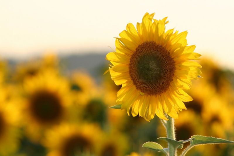 Das Fest im Sonnenblumenfeld..