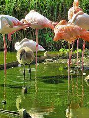 Das Flamingo-Kind
