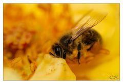Das fleisige Bienchen