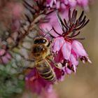 Das fleissige Bienchen besucht die ersten Blümchen!