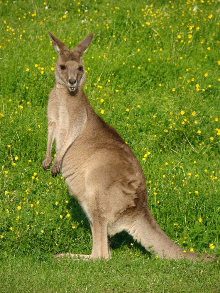 Das freche Känguru
