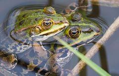 Das Frosch Paar