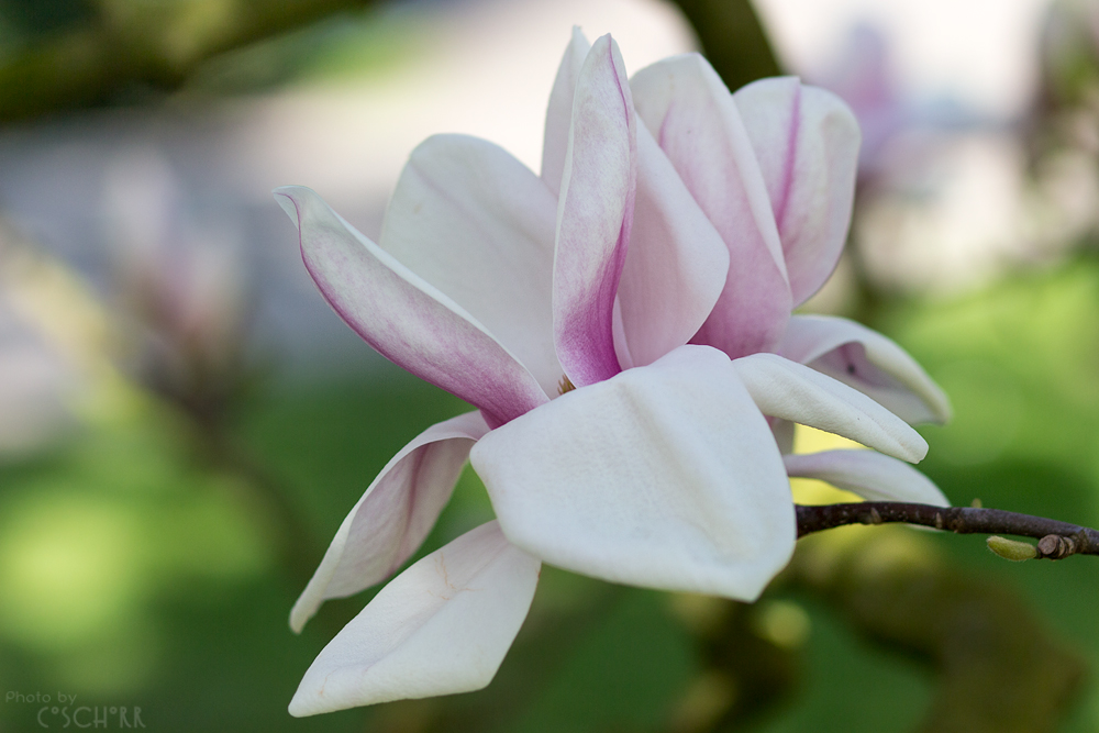 Das Frühjahr überschlägt sich - die Magnolien sind schon wieder am Abblühen