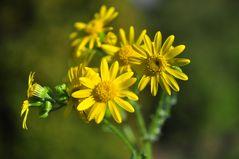 Das Frühlings- Greiskraut (Senecio vernalis)