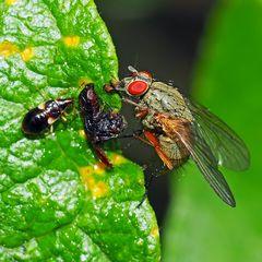Das gefundene Fressen! Eine Blumenwanzenlarve und eine Fliege (Helina-Art).