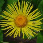 Das gelbe Mittwochsblümchen