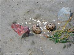 Das Gelege eines Austernfischers