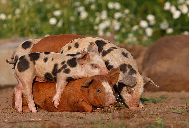 Das gemeine Stapelschwein ;-)