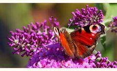 Das Glück ist ein Schmetterling....