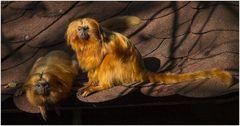 Das Goldene Löwenäffchen....