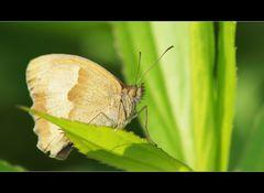Das Große Ochsenauge (Maniola jurtina)