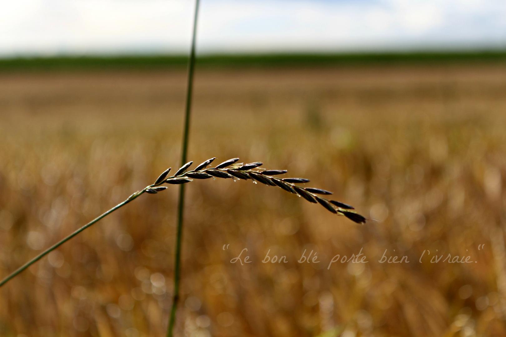 Das gute Korn verträgt das Unkraut