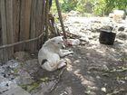 Das Haustier einer Maya-Familie in Mexico