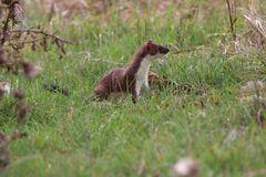 Das Hermelin