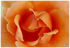 Das Herz in der Rose