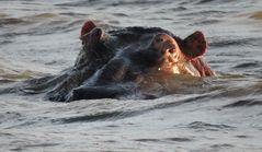 Das Hippo schaut mal wer da kommt .