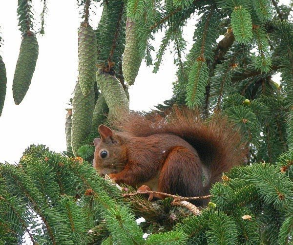 Das Hörnchen