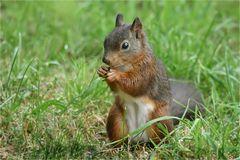 Das Hörnchen ...
