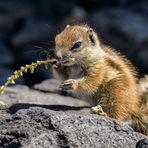das Hörnchen mit dem Stöckchen
