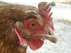 Das Huhn ...