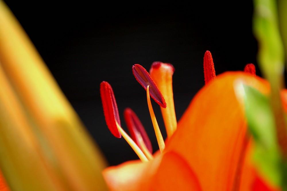 das innenleben der hübschen Lilie