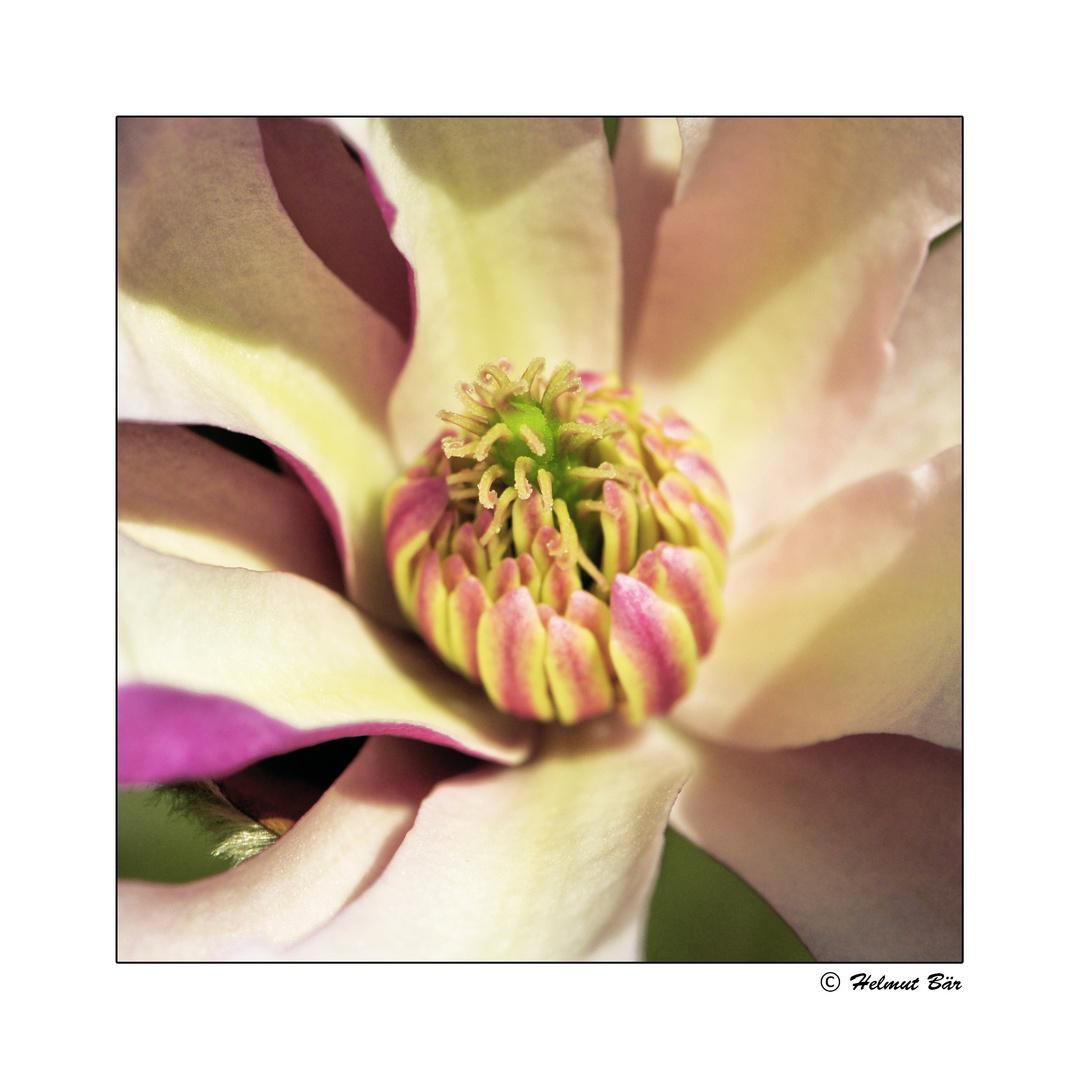 Das Innere der Magnolienblüte