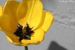 Das innere der Tulpenblüte - kein Makro :-)