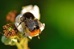 Das Insekt des Jahres 2005 - Die Steinhummel (Bombus lapidarius)