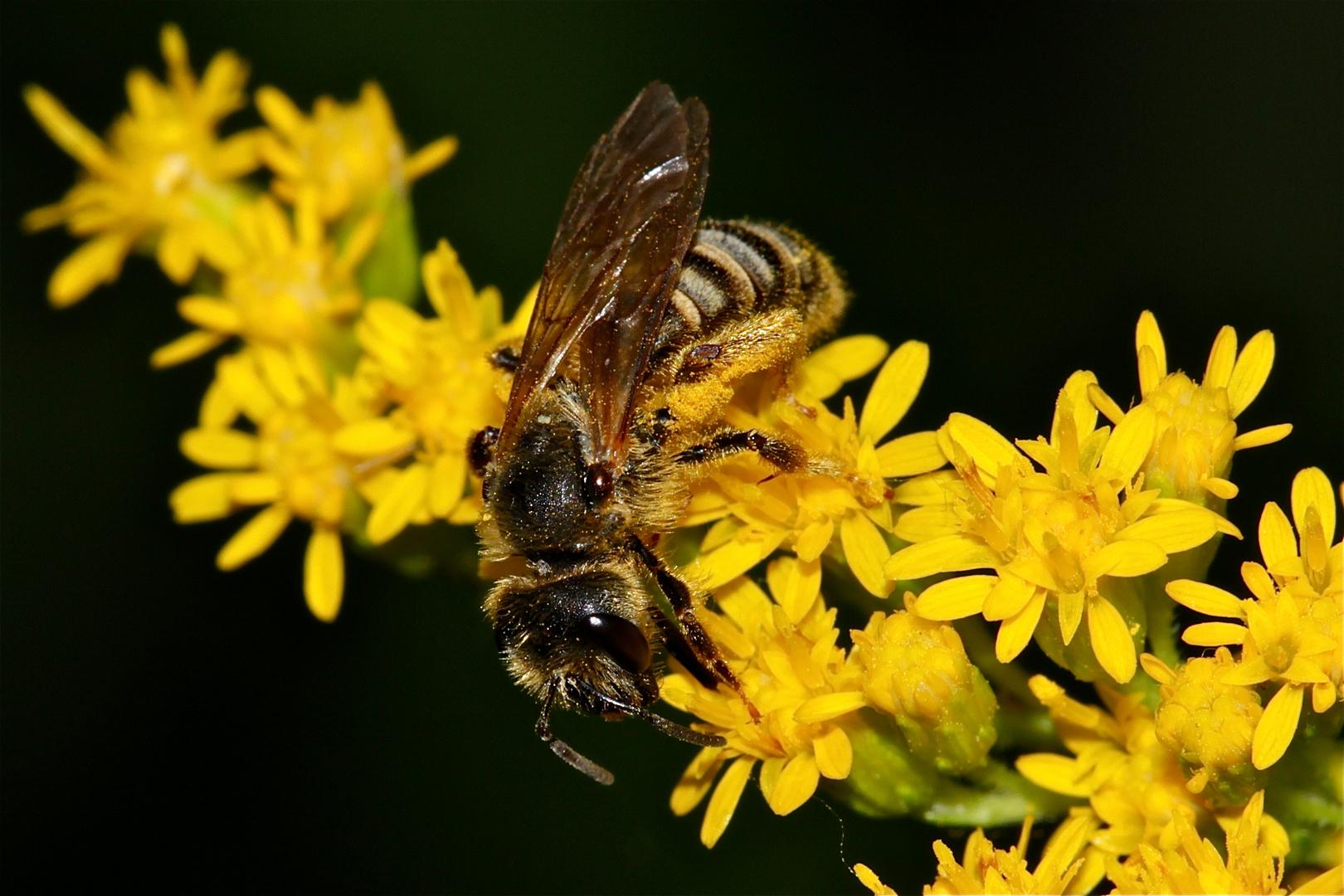 Das ist ein Weibchen der Furchenbiene Halictus scabiosae, . . .
