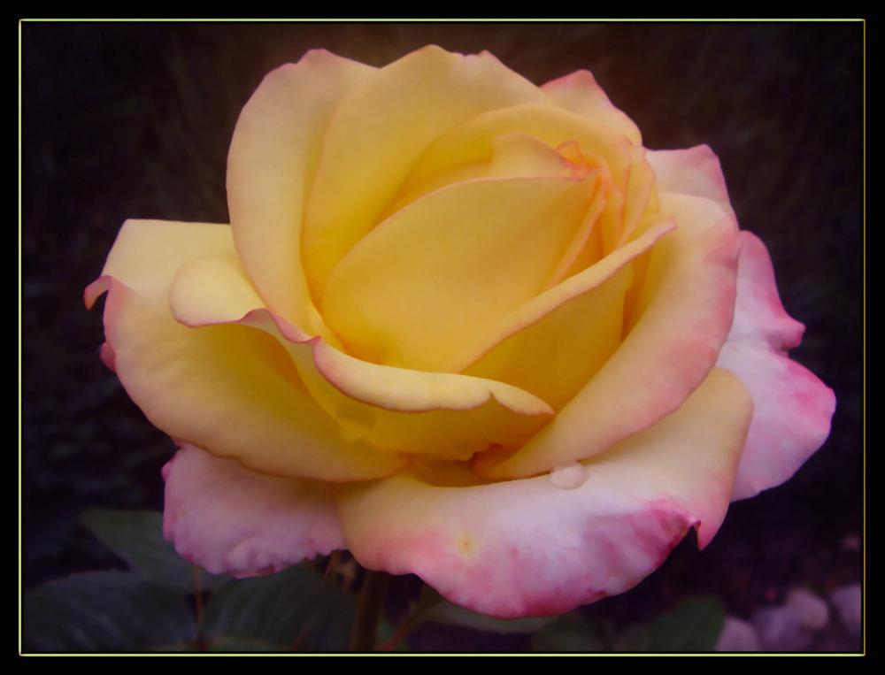 Das ist meine lieblings Rose!!
