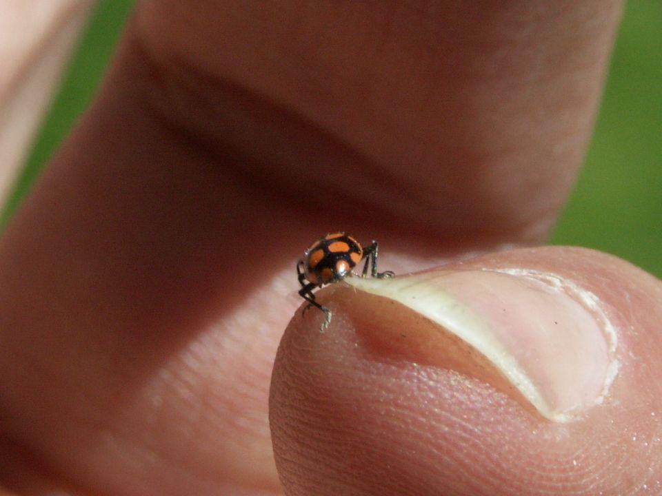 Das Käferlein auf meinem kleinen Finger