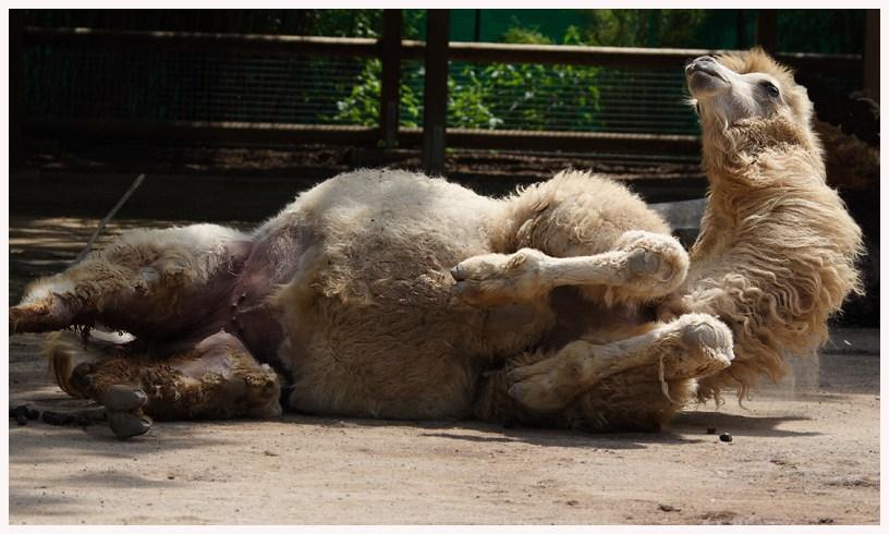 das Kamel bei ..