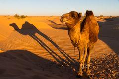 Das Kamel und sein Schatten