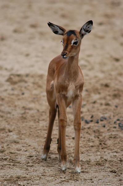 Das Kitz einer Gazelle
