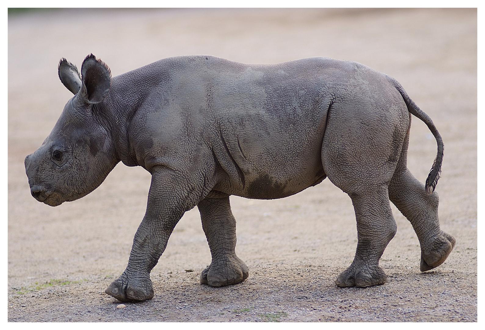 Das kleine Nashorn aus dem Krefelder Zoo.
