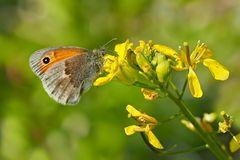 Das Kleine Wiesenvögelchen (Coenonympha pamphilus) - Le fadet commun.