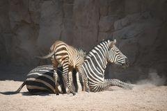 das kleine Zebra