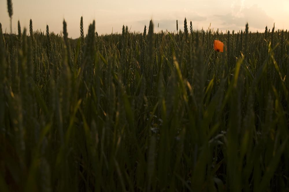 Das Korn in der Abendsonne