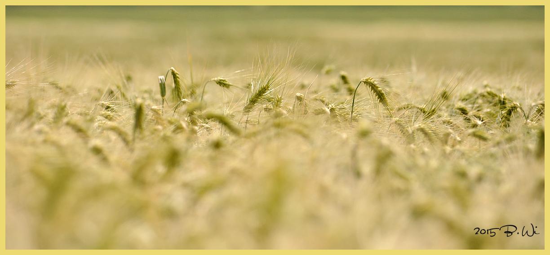 das Korn steht gut......