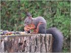 Das lachende Eichhörnchen
