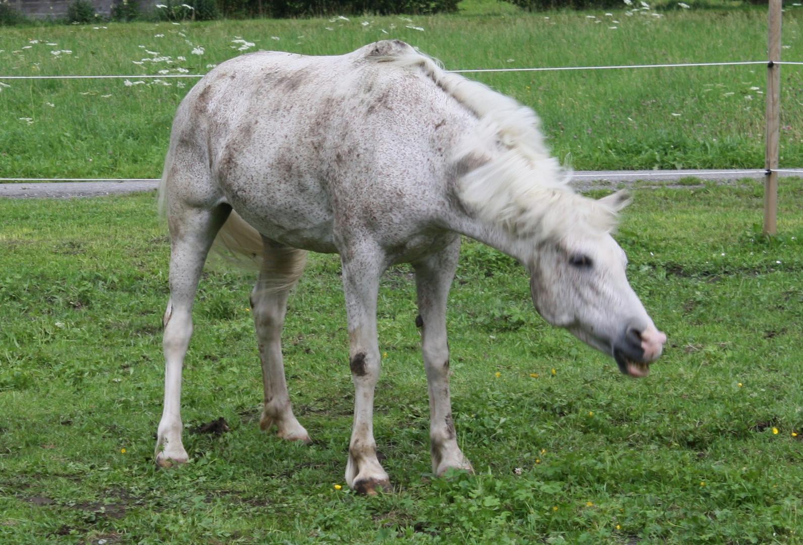 Das Lachende Pferd